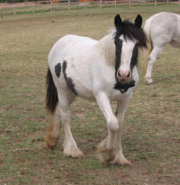 The Drama Queen, 2004 Gypsy Vanner Horse mare