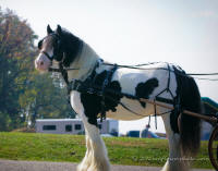 Dreammaker, 2001 imported Gypsy Vanner Horse stallion