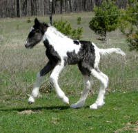 Feathered Gold Dressed to Impress, 2014 Gypsy Vanner Horse colt
