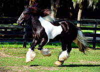 Drogheda's Wildfire, 2012 Gypsy Vanner Horse colt