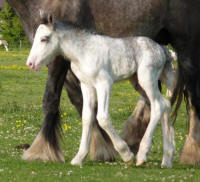 Lexlin's Dunvegan, 2010 Gypsy Vanner Horse colt