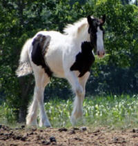 Feathered Gold Easter Sonnett, 2012 Gypsy Vanner Horse filly