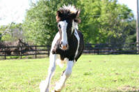 Papuza's Eclipse, 2004 Gypsy Vanner Horse colt