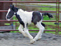 Edain, Gypsy Vanner Horse filly
