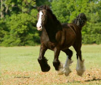 WR Ella Rose, 2007 Gypsy Vanner Horse filly