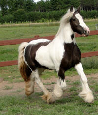 Feathered Gold Eloquence, 2010 Gypsy Vanner Horse mare