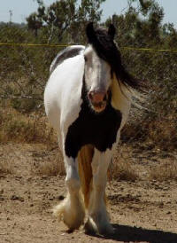 Emily, imported Gypsy Vanner Horse mare