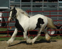 Oakfield Emma, imported Gypsy Vanner Horse mare