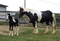 Rivendell Evenstar, 2006 Gypsy Vanner Horse filly
