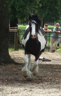 WCF Fancy Affaire, 2007 Gypsy Vanner Horse filly