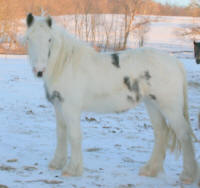 OMF's Fancy Notion, 2009 Gypsy Vanner Horse filly