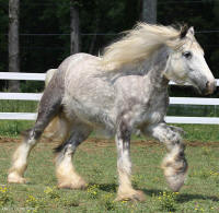 Fantasia, 2002 imported Gypsy Vanner Horse mare