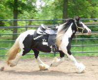 N'Co Fascination, 2006 Gypsy Vanner Horse mare
