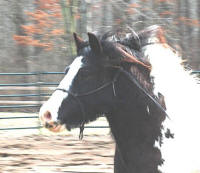N'Co Fascination, 2006 Gypsy Vanner Horse filly