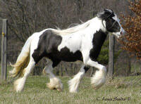 The Gypsy Queen, 2000 imported Gypsy Vanner Horse mare