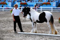 Feathered Gold Kyna, 2006 Gypsy Vanner Horse filly