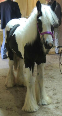 WW Fianna, 2013 Gypsy Vanner Horse filly