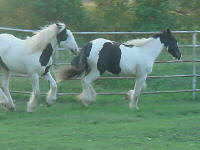 Savannah, Gypsy Vanner Horse filly