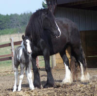 Feathered Gold Finesse, 2007 Gypsy Vanner Horse filly