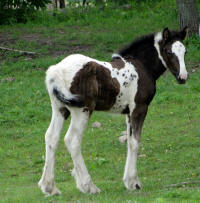 Feathered Gold Finntastic Allure, 2015 Gypsy Vanner Hore filly