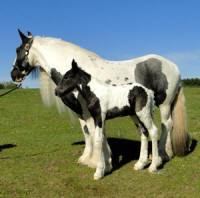 Feathered Gold Finntastic Splendor, 2016 Gypsy Vanner Horse filly