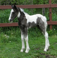 Feathered Gold Finntastic Style, 2016 Gypsy Vanner Horse filly