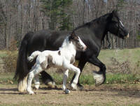 Loxy of Feathered Gold, 2004 imported Gypsy Vanner Horse mare