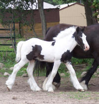 Feathered Gold Fintan, 2009 Gypsy Vanner Horse colt