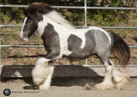 SRS First Down, 2014 Gypsy Vanner Horse colt