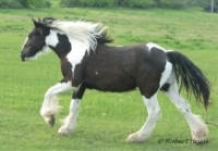 Foley of Finnegan's Fields, 2008 Gypsy Vanner Horse gelding