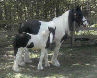 Imari & Freedom, Gypsy Vanner Horse mare and filly