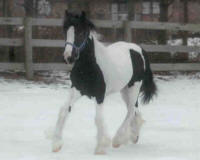 Freedom, Gypsy Vanner Horse filly