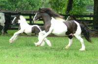 The King's Good Friday, 2005 Gypsy Vanner Horse colt