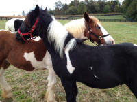 LV Shadow's Fury, 2013 Gypsy Vanner Horse colt