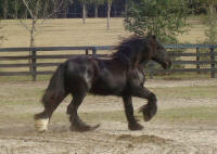 Diamond Girl, 2007 Gypsy Vanner Horse filly