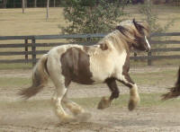 WR Bat Girl, 2007 Gypsy Vanner Horse filly