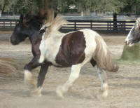 WR Hoochie, 2007 Gypsy Vanner Horse filly