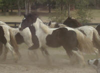 GG Fred Walker, 2007 Gypsy Vanner Horse filly