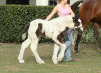 Darby filly, 2008 Gypsy Vanner Horse filly