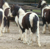 GG Darby Colt, 2008 Gypsy Vanner Horse foal