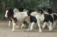 Chakra colt, 2008 Gypsy Vanner Horse foal