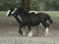 Shampoo Filly, 2008 Gypsy Vanner Horse foal