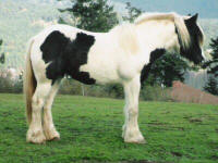 Cloud Dancer, Gypsy Vanner Horse filly