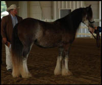 KD's I Measure Up, 2007 Gypsy Vanner Horse gelding