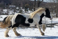 Galway Girl of RBF, 2013 Gypsy Vanner Horse mare