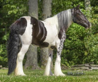 VV Gemstone, 2013 Gypsy Vanner Horse filly