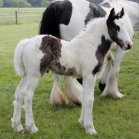 GRS Sweet Georgia Peach, 2013 Gypsy Vanner Horse filly