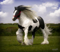 Geronimo, 2003 imported Gypsy Vanner Horse stallion