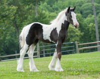 SWF Tia's Ingenue In Pearls, 2014 Gypsy Vanner Horse filly