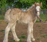 Ginny, 2016 Gypsy Vanner Horse filly